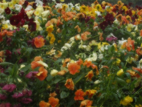 Fleurs de France, de Vladstudio