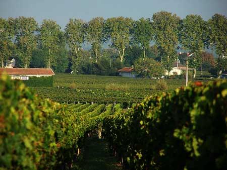 Viñas de Pomerol (Burdeos)