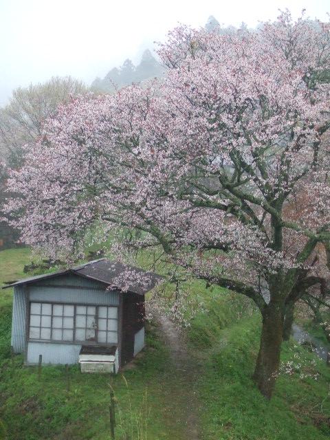 Cerezo florecido en el monte Yoshino de Japón