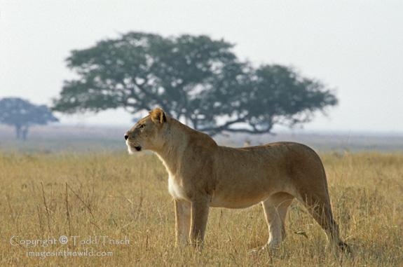 Tigre en el Serengeti