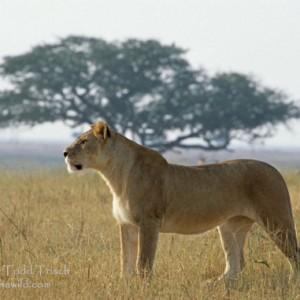 El Serengeti, entre Kenia y Tanzania