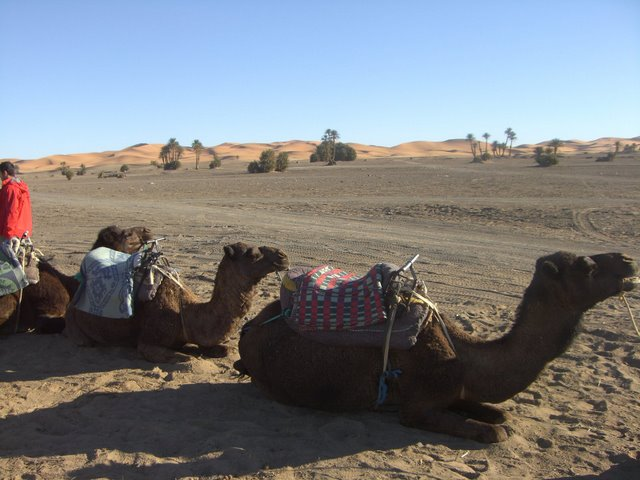 Camellos de la caravana
