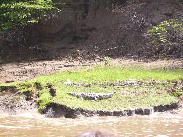 Cocodrilo en el cañón del Sumidero