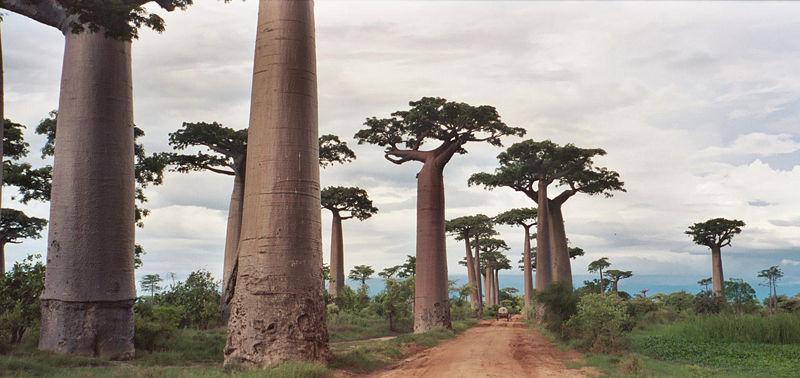 Avenida de los baobabs en Madagascar
