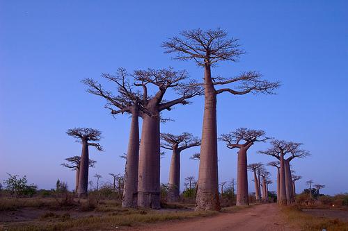Baobabs de Madagascar @ Flickr