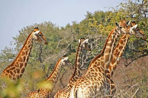 Jirafas en el Parque Kruger @Rob Inh00d