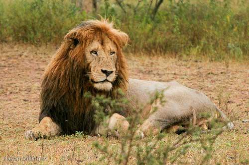 Leon en el Parque Kruger @stillingen