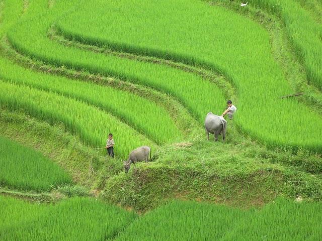 Trabajando en los arrozalos con búfalos en Sapa