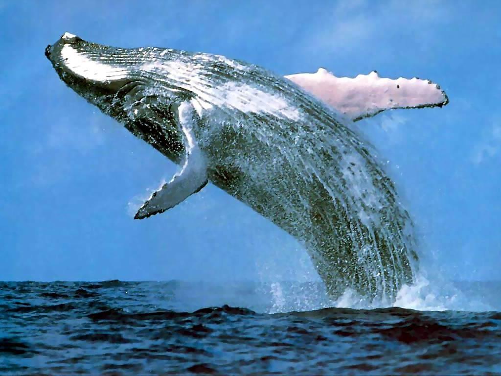 Ballena saltando cerca de la costa de las ballenas en Sudáfrica