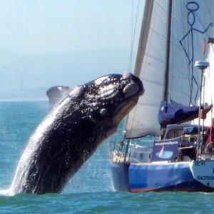 Ballena saltando un velero en Ciudad del Cabo