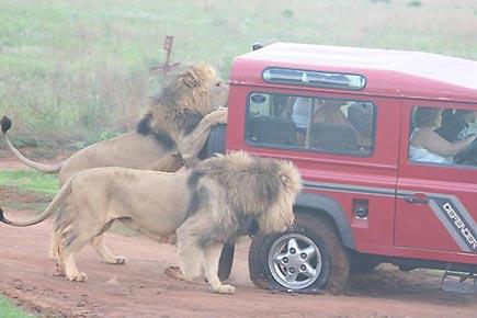 Los leones y las ruedas del jeep en Namibia