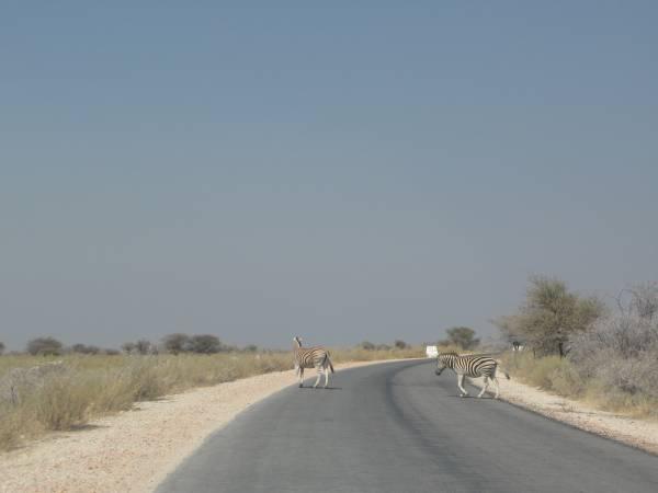 Zebras cruzando la carretera de Etosha Park