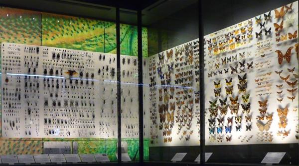 Mariposas disecadas en el Museo de Historia Natural de Toulouse