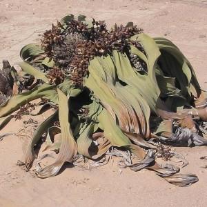 Welwitschia Mirabilis el milagro del desierto de Namibia