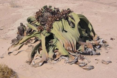 Welwitschia Mirabilis en el desierto de Namibia
