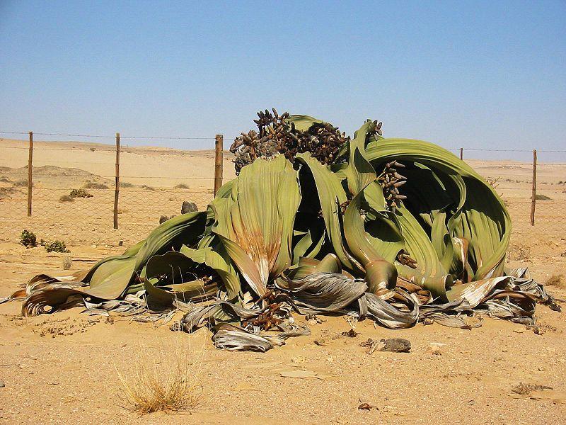 La Welwitschia mirabilis más alta del mundo