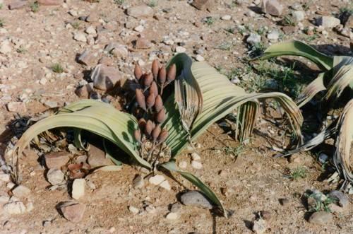 Welwitschia mirabilis hembra