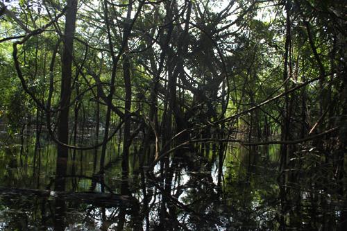 Selva enredada en los manglares