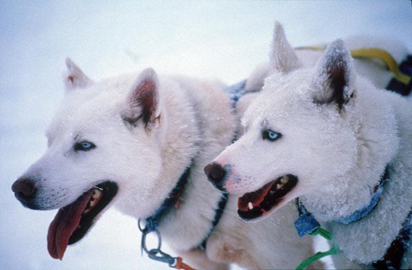 perros_trineos_laponia_sueca