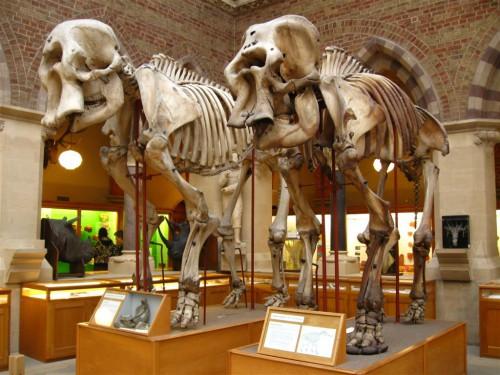 Elefante africano vs. elefante asiático