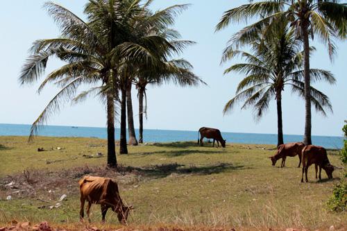 Vacas pastando junto al mar