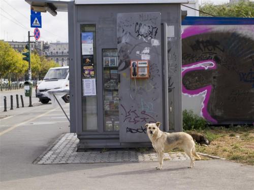 Perro callejero en Bucarest