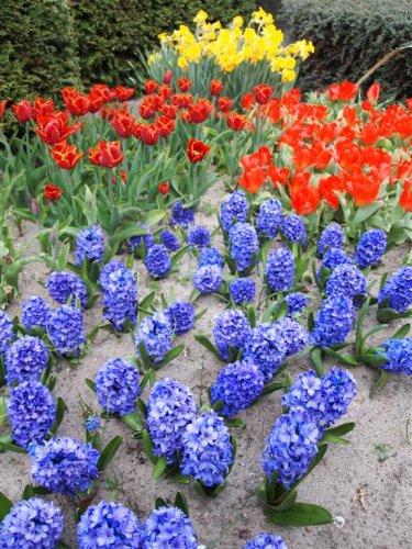 Campos de flores de Bollenstreek