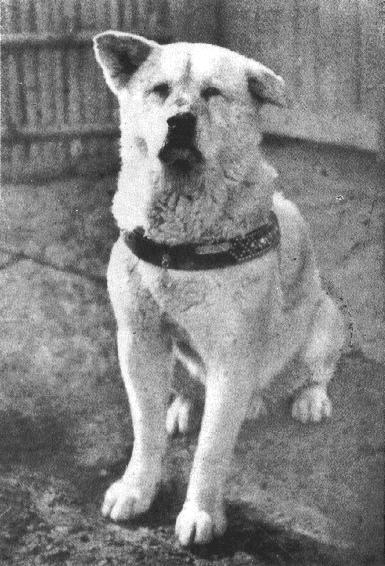 Hachiko era un perro de la raza akita