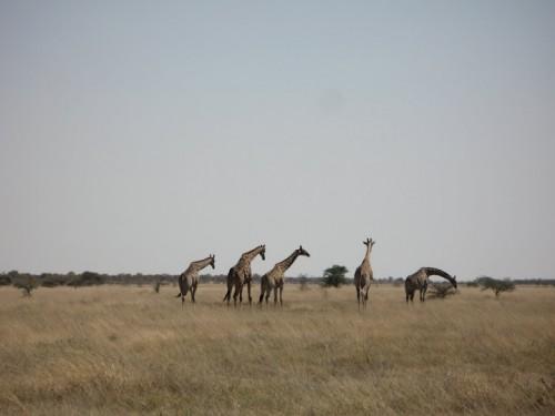Manada de jirafas en Etosha Park