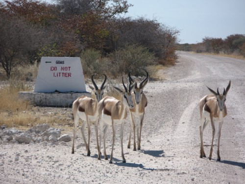 Springbooks cruzando la carretera de Etosha Park
