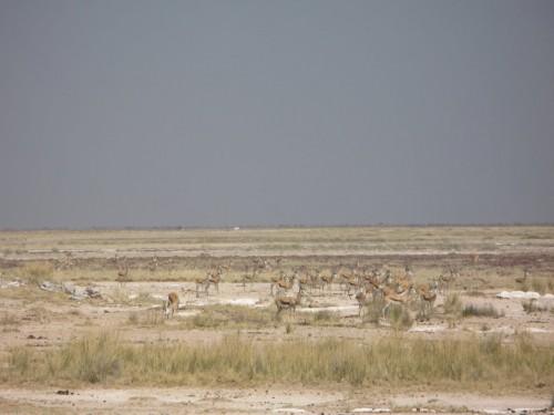 Springbooks atentos a la leona de Etosha Park