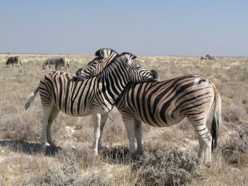 Zebras de Etosha Park