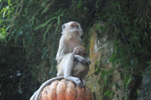Macaco del Monkey Forest