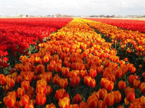 Campo de flores en Lisse
