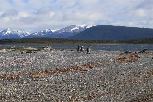 Pingüinos de la Isla Martillo en Ushuaia