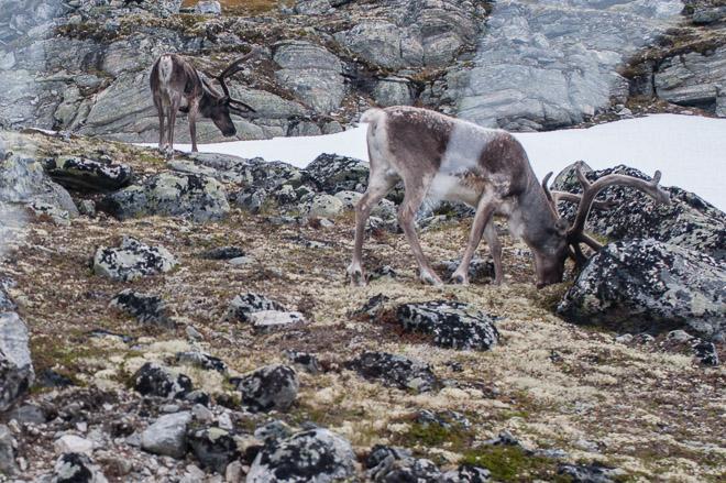 Tuvimos la suerte de ver renos, pero sólo hay unos pocos días en que esto es posible en Geiranger