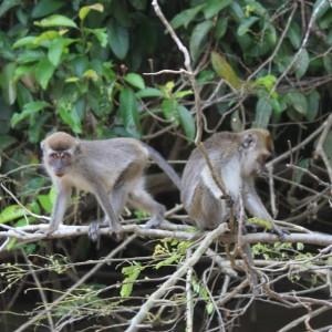 Monos en Kinabatangan