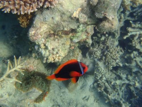 Haciendo snorkel en Tioman island