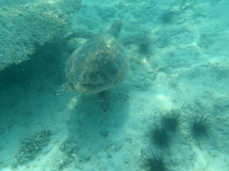 Nadando con tortugas en Tioman island