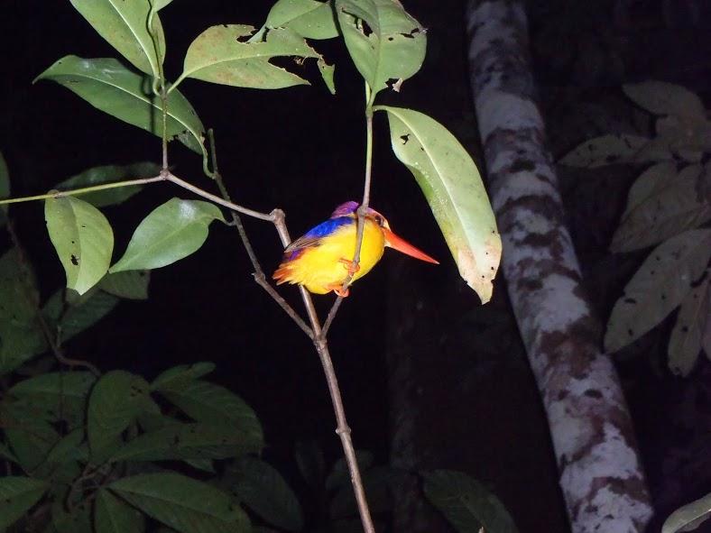Pájaro en el trecking nocturno en Kinabatangan