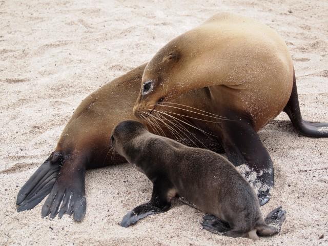 Leones marinos de Galápagos
