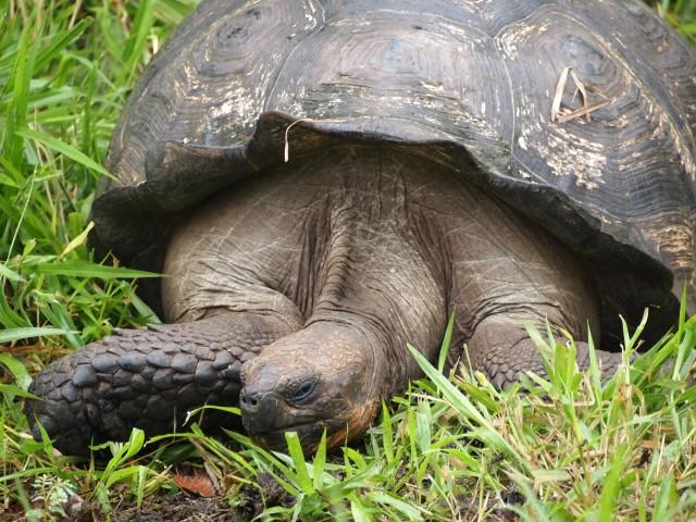 Tortuga en Galápagos