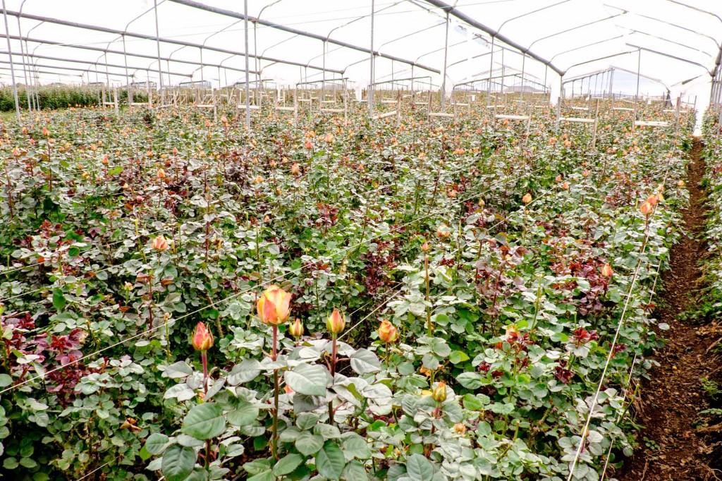 Quito Ecuador - produccion rosas