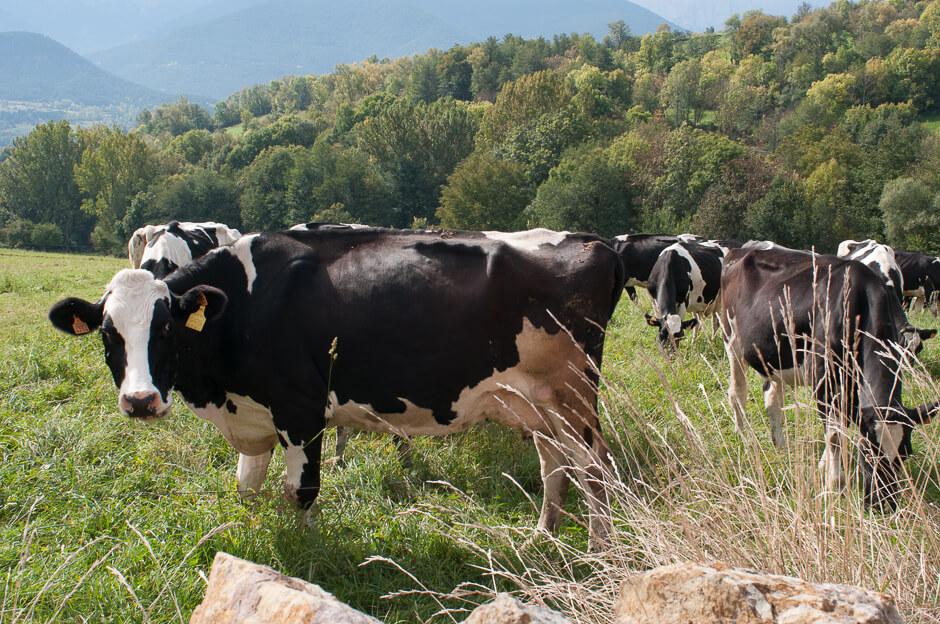 vacas de la Cerdanya
