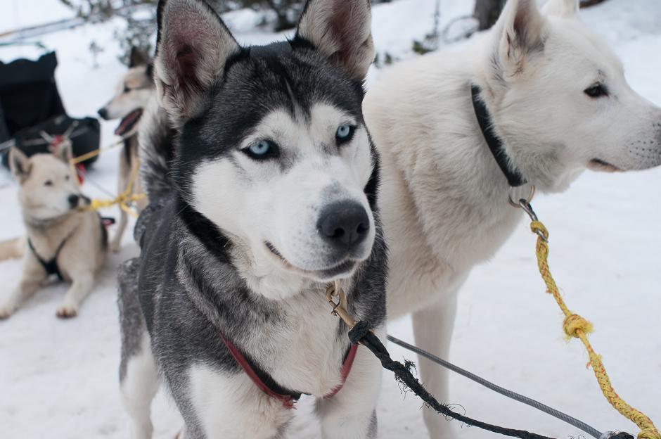 Perros guía del trineo de perros en Grandvalira